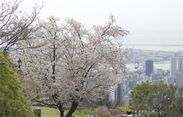 Mountain cherry blossoms
